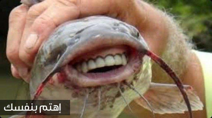سمكة الباكو أو سمكة الخصية