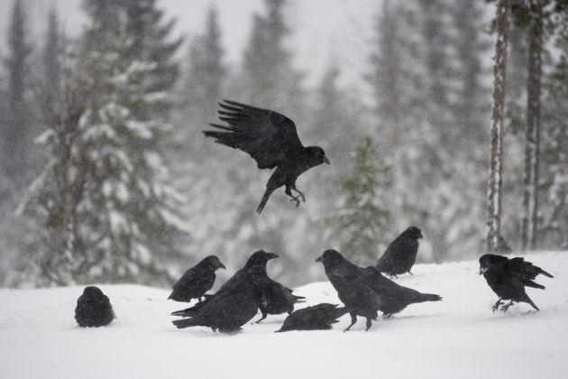 الغربان طيور اجتماعية