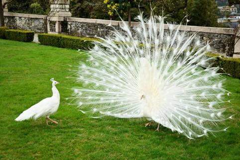 طاووس أبيض بالكامل