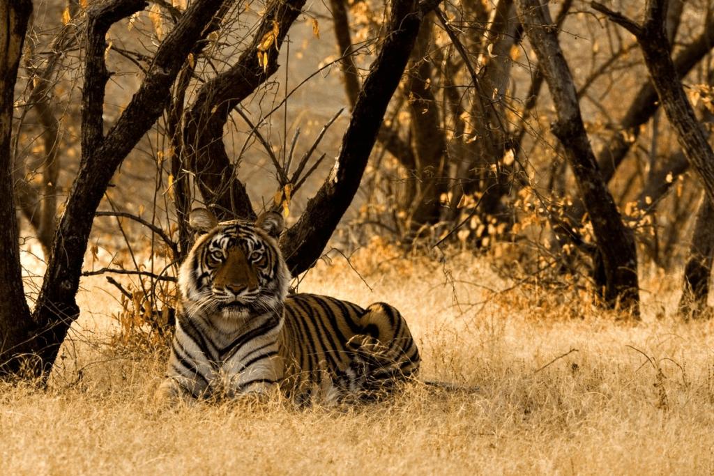 النمر البنغالي