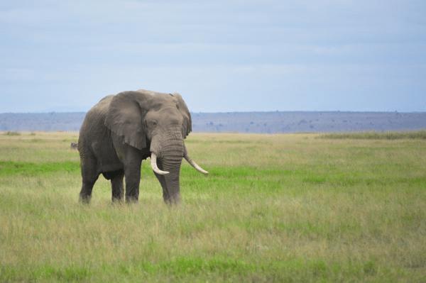الفيل الافريقي